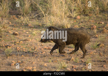Indian Wild Boar (Sus scrofa cristatus) adult male, running, Tadoba N.P., Maharashtra, India, April - Stock Photo