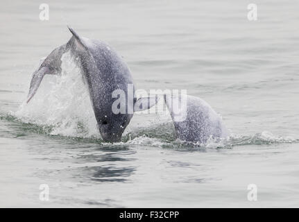 Indo-Pacific Humpback Dolphin (Sousa chinensis chinensis) two juveniles, leaping from water, Hong Kong, China, February - Stock Photo