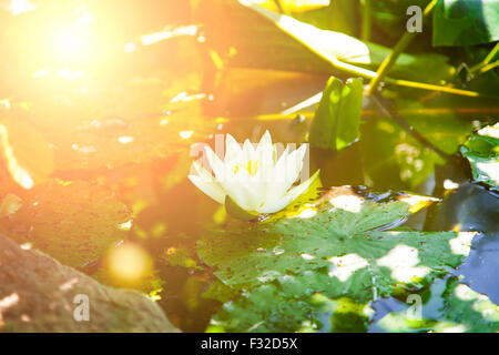 Image of a water lily in a pond. - Stock Photo