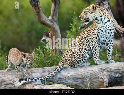 Mother and baby leopard perched on weathered log in Serengeti National Park, Tanzania - Stock Photo