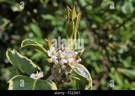 Cultivated Holly (Ilex aquifolium) variegated cultivar, close-up of female flowers, growing in garden, Mendlesham, - Stock Photo