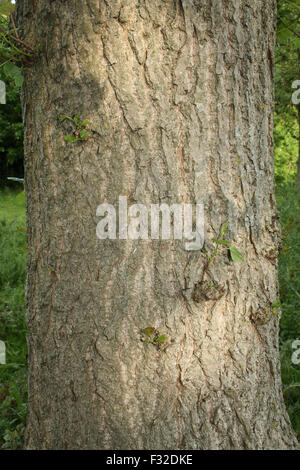 Hybrid Black Poplar (Populus x canadensis) close-up of trunk, growing in woodland, Vicarage Plantation, Mendlesham, - Stock Photo