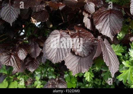 Filbert (Corylus maxima) 'Purpurea', close-up of leaves, growing in garden hedge, Mendlesham, Suffolk, England, - Stock Photo
