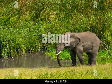 Tanzania, Arusha Region, Ngorongoro Conservation Area, african elephant (loxodonta africana) - Stock Photo