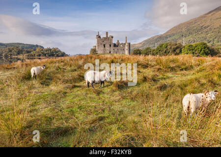 Scottish Blackface Rams at Kilchurn Castle, Argyll and Bute, Scotland, UK. - Stock Photo