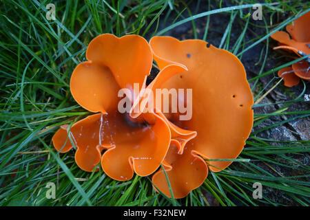 Orange peel fungus fungi Aleuria aurantia in Uk - Stock Photo