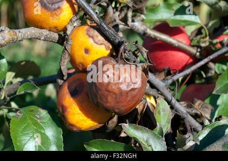 Boskoop, Apfelfaeule, faul, Faeule, - Stock Photo