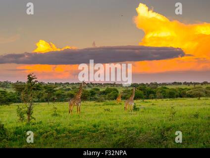 Tanzania, Mara, Serengeti National Park, giraffe (giraffa camelopardalis) - Stock Photo