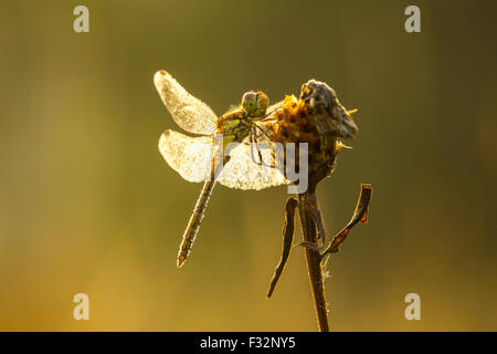 Side view of a common Darter, Sympetrum striolatum, with his wings spread he is drying the dew his wings in early, - Stock Photo