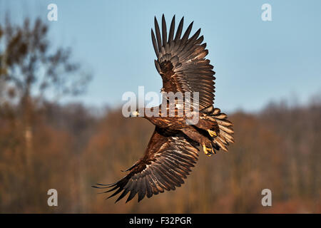 Young white-tailed sea eagle in flight in winter - Stock Photo