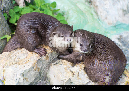 cute pair of otters wet brown otters cuddling - Stock Photo