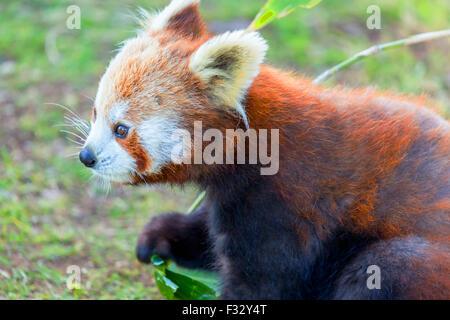 Red Panda: very cute red panda eating green leaves. - Stock Photo