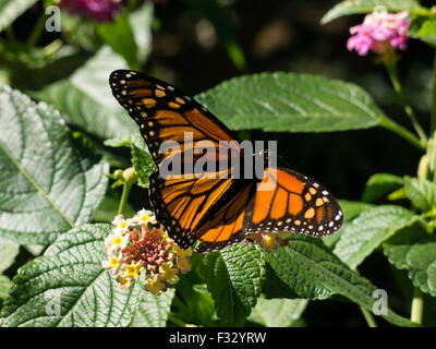 ... Monarch Butterfly In The Fragrance Garden, The Brooklyn Botanic Garden,  NYC, USA