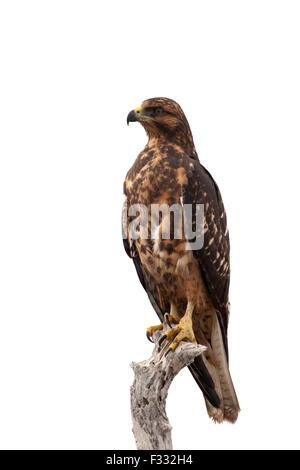 Galapagos Hawk (Buteo galapagoensis) perched on branch - Stock Photo