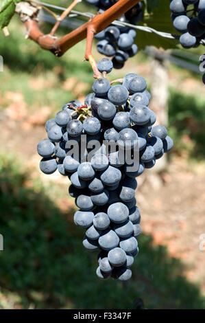Dornfelder, Rotwein, Rote, Weintrauben, - Stock Photo