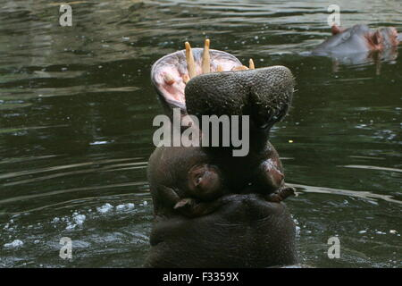 African Hippo (Hippopotamus amphibius) in close-up, rearing head up high out of the water - Stock Photo