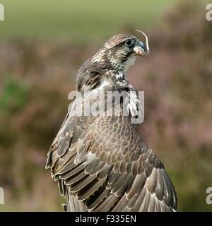 Saker falcon (Falco cherrug) swallowing a mouse - Stock Photo