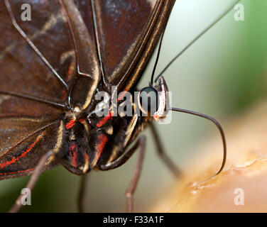Macro, close-up view of the Head and Thorax of an Owl butterfly, at Wingham Wildlife Park. - Stock Photo