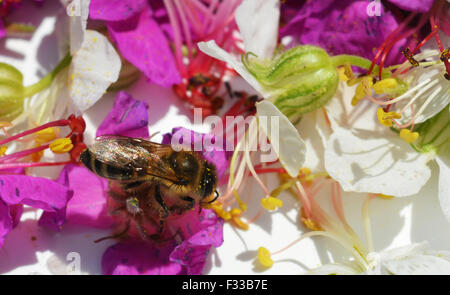 Bee collects pollen from geranium Stock Photo