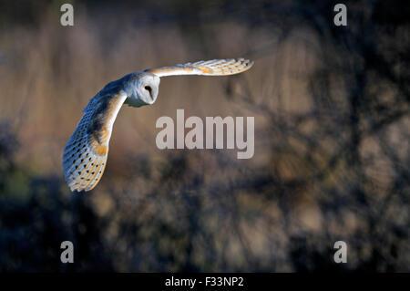 Barn Owl Tyto alba Norfolk winter - Stock Photo
