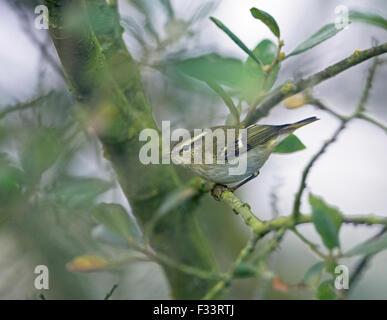 Yellow-browed Warbler Phylloscopus inornatus Kelling Water Meadows down Meadow Lane Norfolk September - Stock Photo