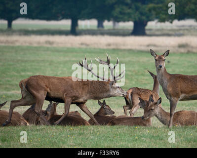 Red Deer (Cervus elaphus) Stag checking whether female is receptive to mating during rut, Richmond Park London September - Stock Photo