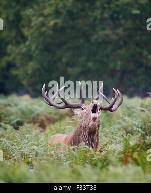 Red Deer (Cervus elaphus) Stag bellowing during rut, Richmond Park London September - Stock Photo
