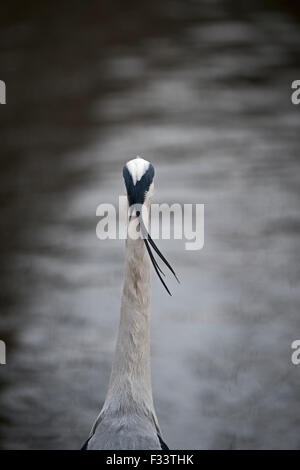 Grey Heron Ardea cinerea in Regents Park Central London UK - Stock Photo