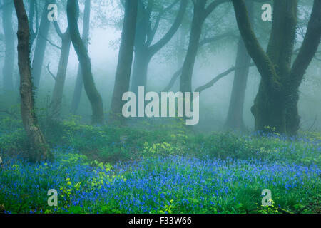 bluebells in the misty woods near Minterne Magna at dawn, Dorset, England, UK - Stock Photo
