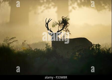 Red deer Cervus elaphus at dawn Richmond Park London September - Stock Photo