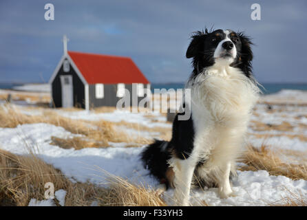 a dog in front of the church at Bjarnarhofn, Snaefellsness Peninsula, Iceland - Stock Photo