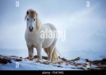 a horse nr Helgafell, Snaefellsness Peninsula, Iceland - Stock Photo