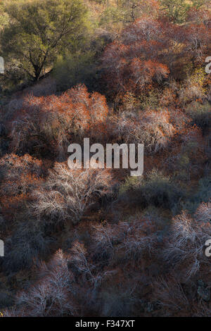 buckeye trees catching the late afternoon light, Sequoia National Park, California, USA
