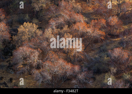 buckeye trees catching the late afternoon light, Sequoia National Park, California, USA - Stock Photo