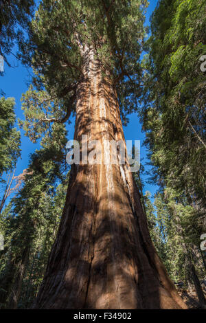 the President Tree, Congress Trail, one of the giant sequoia trees in Sequoia National Park, California, USA - Stock Photo