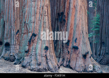 the House Group of giant sequoia trees on the Congress Trail, Sequoia National Park, California, USA - Stock Photo