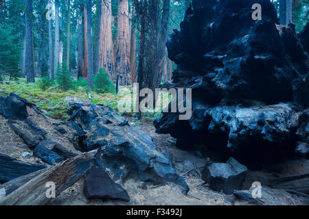 a fallen giant sequoia tree, Sequoia National Park, California, USA - Stock Photo
