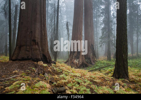 mist amongst the giant sequoia trees on the Bear Hill Trail, Sequoia National Park, California, USA - Stock Photo