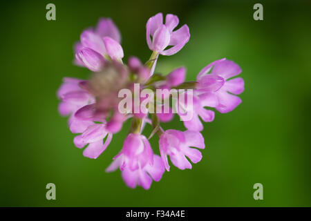 a Anacamptis pyramidalis, the pyramidal orchid, in the woods at Milborne Wick, Somerset, England, UK - Stock Photo