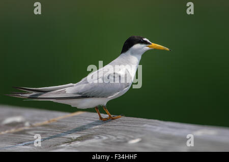 Sandwich Tern (Thalasseus sandvicensis),  Green Cay Nature Center, Delray Beach, Florida, USA - Stock Photo