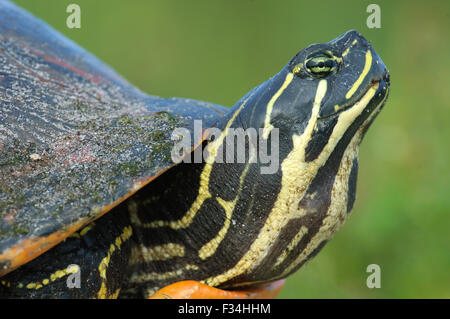 Close-up of head of Florida red-bellied cooter, AKA Florida redbelly turtle (Pseudemys nelsoni) at Green Cay Wetlands, - Stock Photo