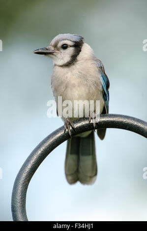 Blue Jay (Cyanocitta cristata), Garden Wellington, Florida, USA - Stock Photo