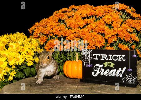 Halloween Squirrel - Stock Photo