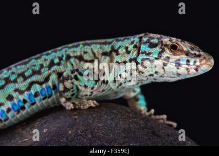 Ibiza wall lizard (Podarcis pityusensis formenterae) - Stock Photo