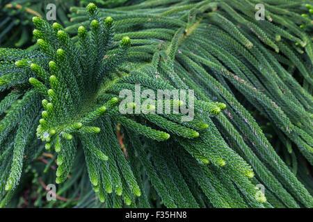 Norfolk Pine or Araucaria heterophylla is a member of the family Araucariaceae originally grown on Norfolk Island - Stock Photo