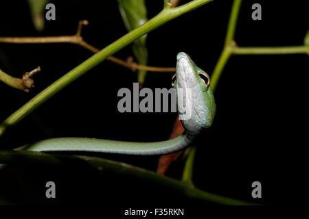 Small green vine snake