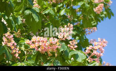 Pink flowers of chestnut tree on blue sky stock photo royalty free flowers of chestnut tree of pink colour on blue sky stock photo mightylinksfo Gallery
