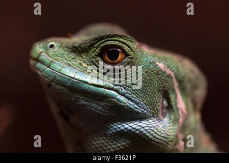 Close-up view of the head of a Female Plumed Basilisk lizard in Wingham Wildlife Park - Stock Photo