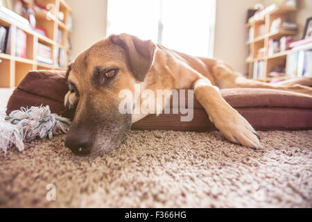 Big dog laying down on the dog bed in a room - Stock Photo