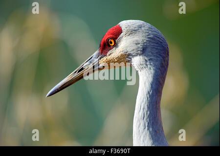 Sandhill Crane (Grus canadensis), George C Reifel Migratory Bird Sanctuary, Vancouver , British Columbia, Canada - Stock Photo